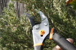 Fiskar gardening shears cutting rosemary